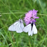 Papillon 11