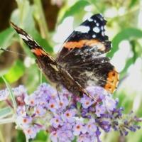 Papillon 9